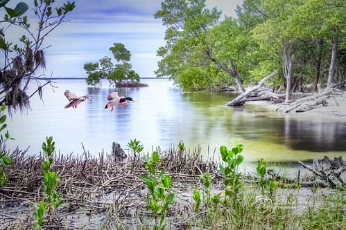 poncedeleon historical park puntagorda florida fl charlotteharbor charlottecounty water mangroves ducks flying landing roots shore shoreline scene scenery landscape waterscape beautiful composite hdr highdynamicrange stevefrazierphotography photographer photomanipulation digitalmanipulation