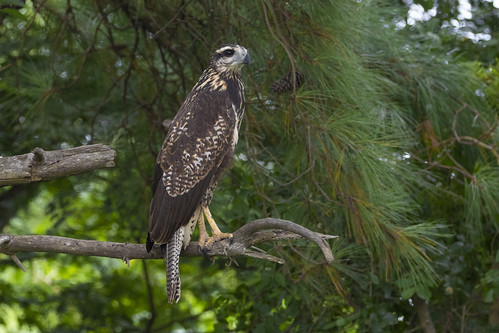 Buteogallus urubitinga - Aguila Negra - Great Black-Hawk