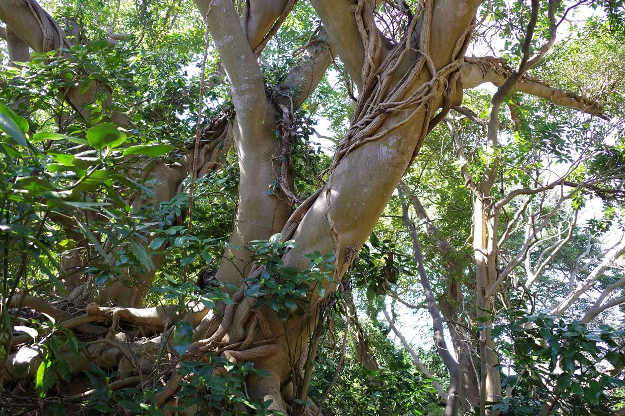 猿島の大木