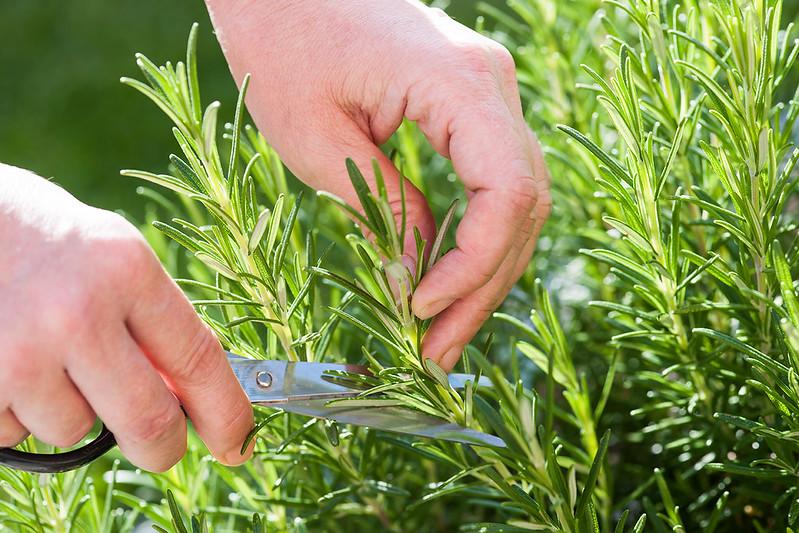 Herbs harvesting rosemary