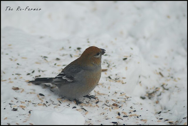 2019-02.pine.grosbeak.female.1