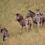 Zebra - South Africa