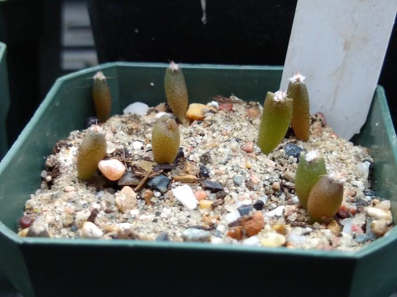 Semis d'Astrophytum (cactus) - Page 2 46792387234_182c6d5c42_c