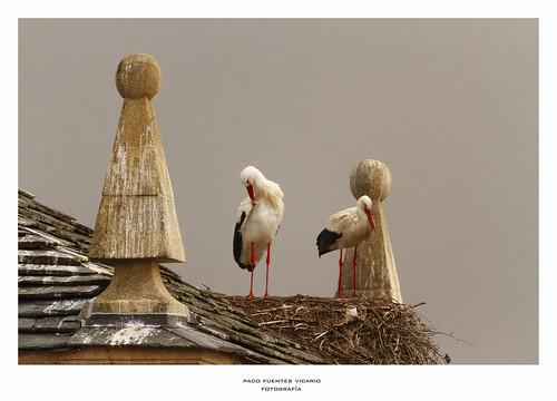 En San Cipriano las cigüeñas...