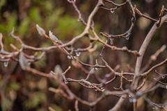 Icy Rain-Coated Magnolia Branches