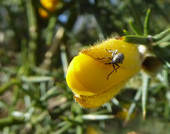 Gorse Weevil