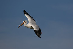 White Pelican on a smooth approach....6O3A9174A