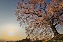7山梨の桜 (19.4.6) (163)