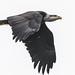 Eagle Flying by MarksGonePublic
