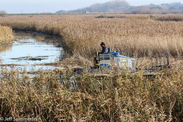 Keeping the the reedbeds in check