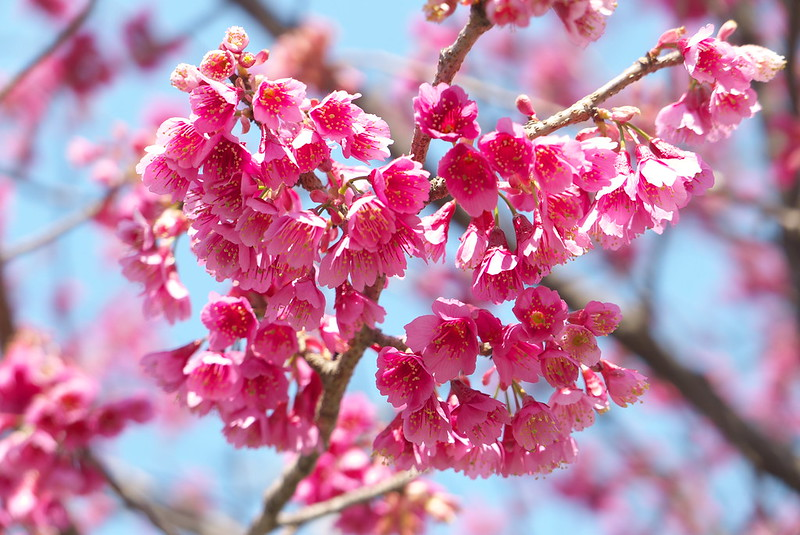 町屋七丁目公園の寒緋桜
