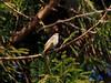 Photo:Daurian redstart female (Phoenicurus auroreus, ジョウビタキ) By Greg Peterson in Japan