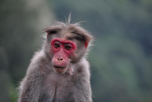 That look !! Bonnet Macaque Monkey (Macaca Radiata)