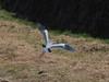 Photo:Grey heron (Ardea cinerea, アオサギ) By Greg Peterson in Japan