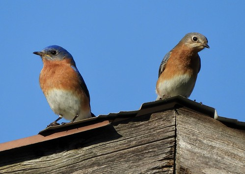 ~Eastern Bluebirds~