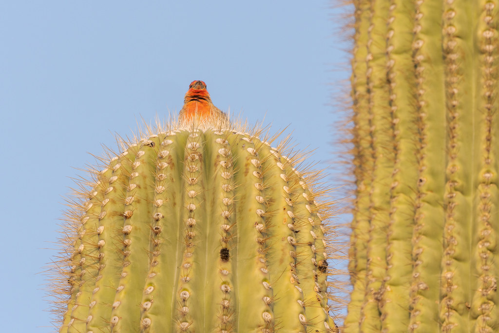 A male house finch greets the rising sun with a song from his perch atop an arm of a saguaro on the Kovach Family Nature Trail in the Lost Dog Wash section of McDowell Sonoran Preserve in Scottsdale, Arizona
