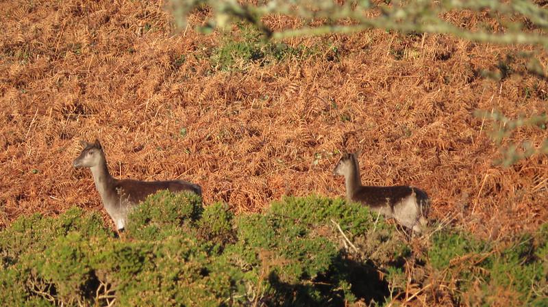 Deer on Butterdon Hill (Moretonhampstead)