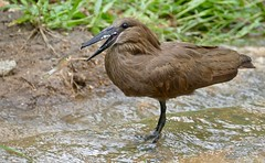Hamerkop (Scopus umbretta) trying to catch a jumping fish ...