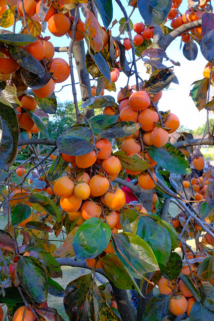 Photo:Ripe persimmons - The East Garden, Tokyo Imperial Palace, Japan By Geoff Whalan