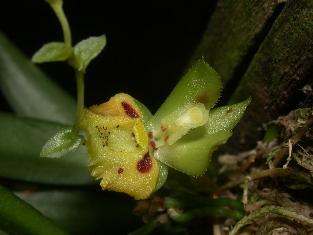 Miniatur-Orchideen Teil 4 - Seite 27 46381367265_b55e7517ce_b