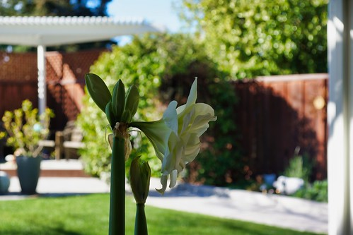 2019-03-08 - Nature Photography - Flowers - Amaryllis