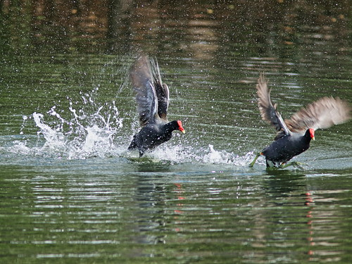 Common Gallinules mix it up 09-20190308