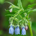 Tall Lungwort - Mertensia paniculata (Boraginaceae) 118z-5271715