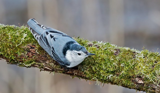 White-breasted nutchatch