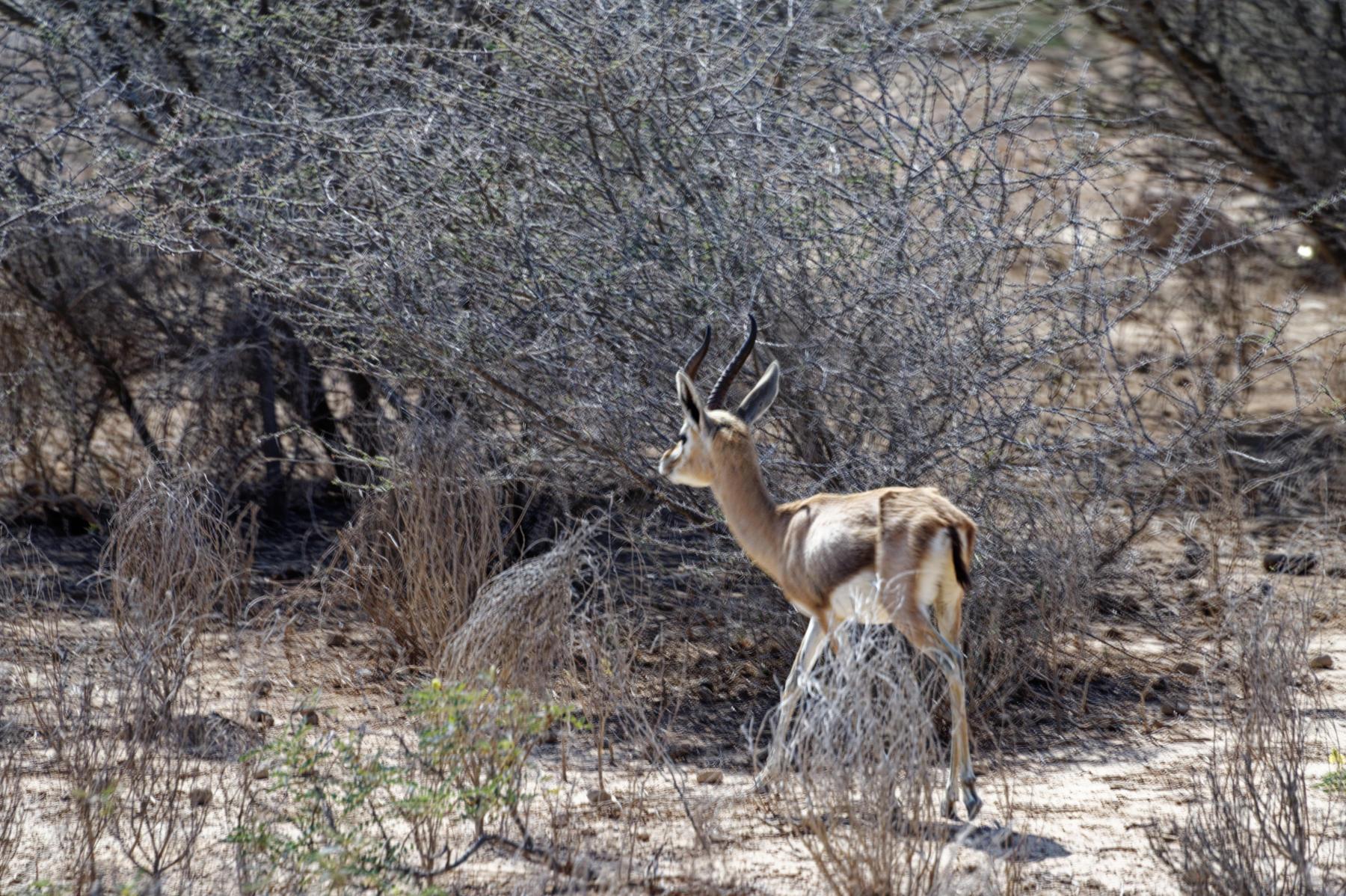 Arabian gazelle, Oman