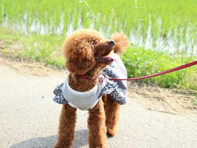 蚊対策として服を着て散歩する犬