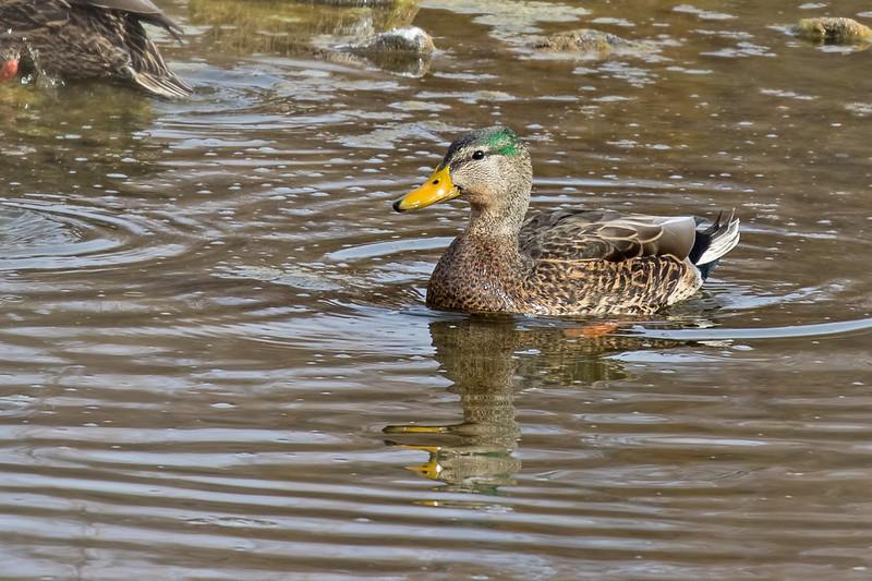 Mallard-Duck-30-7D2-122118