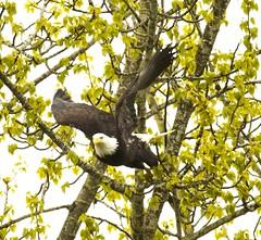 Bald Eagle launching