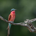 Southern Carmine Bee-eater by dunderdan77