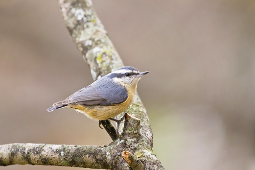 nuthatch perched 2 ( explore )