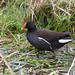 Moorhen at Chesworth Farm, Horsham