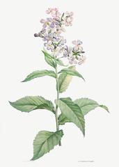White gillyflower in bloom