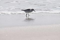 sanderling birding Mason inlet NC 11.17DSC_0363