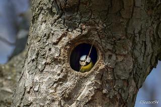 La mésange bleue construit son nid .