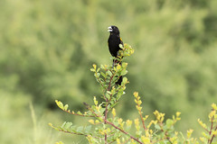 White Winged Widowbird