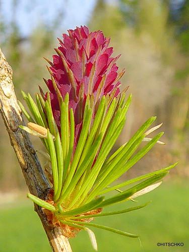 Europäische Lärche (Larix decidua) weibliche Blüte