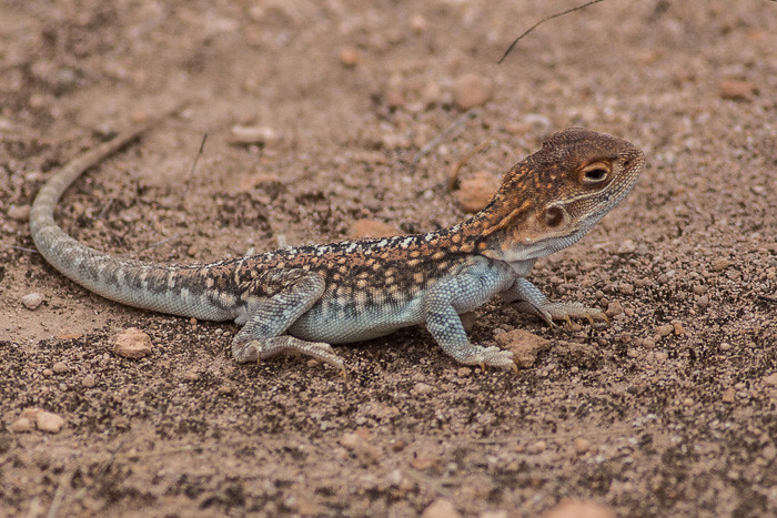 Another lizard - id please
