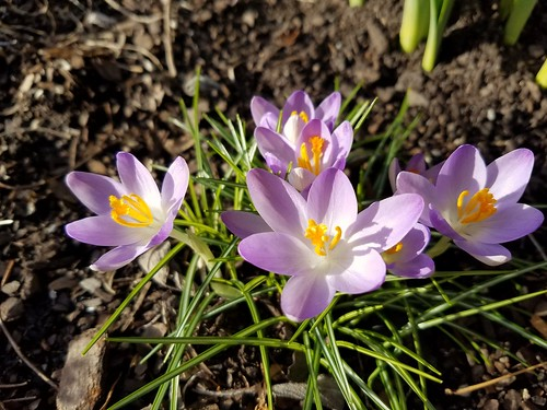 Crocuses in the February Sunshine