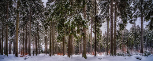 Spruces in Winter - Upper Franconia, Germany