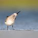Dunlin by Jesse_in_CT