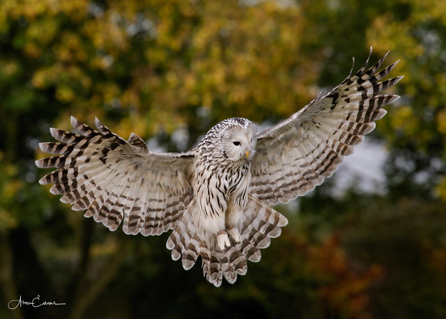 Ural Owl, Canon EOS 7D MARK II, Canon EF 70-300mm f/4-5.6L IS USM