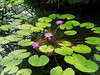 Photo:Water lilies (Nymphaea, スイレン) By Greg Peterson in Japan