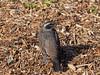 Photo:Dusky thrush (Turdus eunomus, ツグミ) By Greg Peterson in Japan
