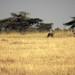 Closing in for the kill, cheetah hunting Thompson's gazelle, Piaya Serengeti Tanzania
