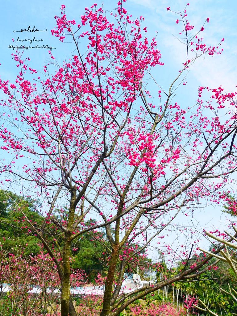 貓空樟樹步道附近櫻花賞櫻景點 (2)