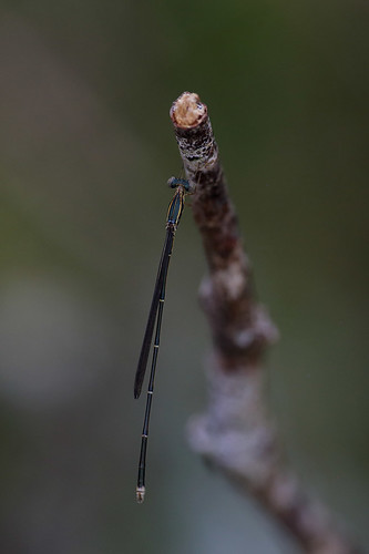Rhadinosticta simplex.